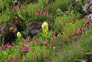 Brahma Kamal in Valley of Flowers Region at Hemkund